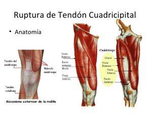 Anatomía de los músculos del cuádriceps